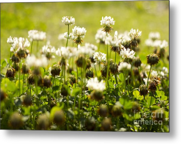 White Dutch Clover Wild Plants In The Sunshine Metal Print