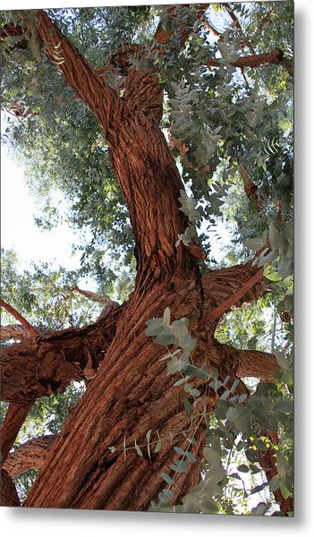 White Eucalyptus Tree Metal Print