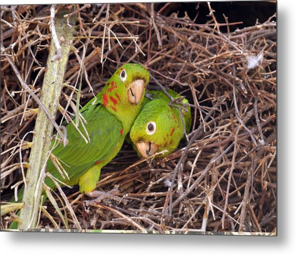 White-eyed Parakeets Nesting Metal Print by Science Photo Library