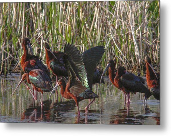 White-faced Ibis  Metal Print by Jill Bell