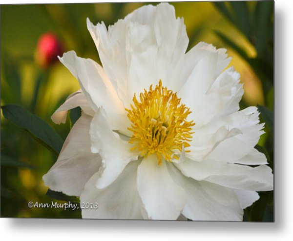 White Floribunda Rose Metal Print