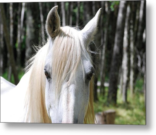 Metal Print featuring the photograph White Horse Close Up by Jocelyn Friis