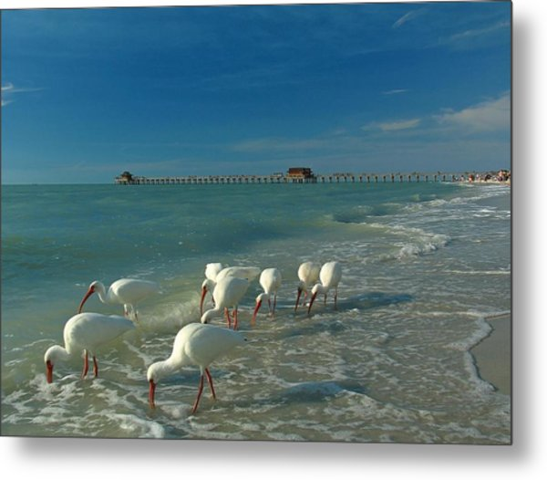White Ibis Near Historic Naples Pier Metal Print
