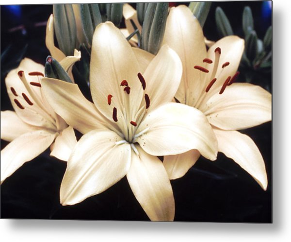 White Lily Beauty Metal Print
