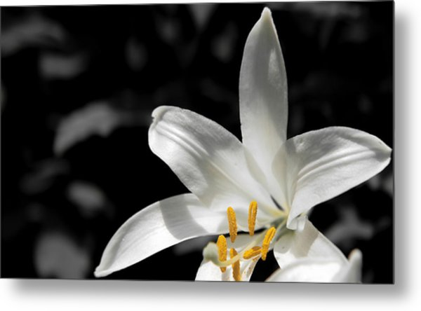 White Lily With Yellow Stamens Against Dark Background Metal Print