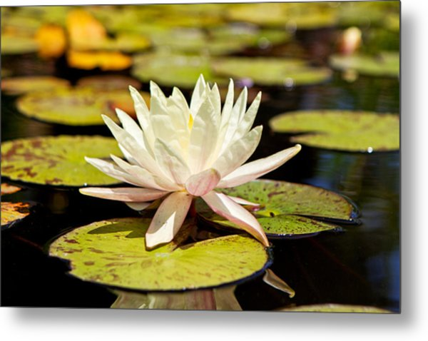 White Lotus Flower In Lily Pond Metal Print