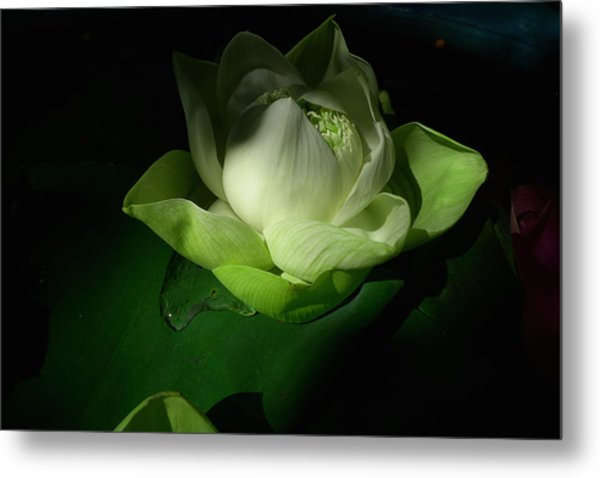 White Lotus Unfolding Metal Print