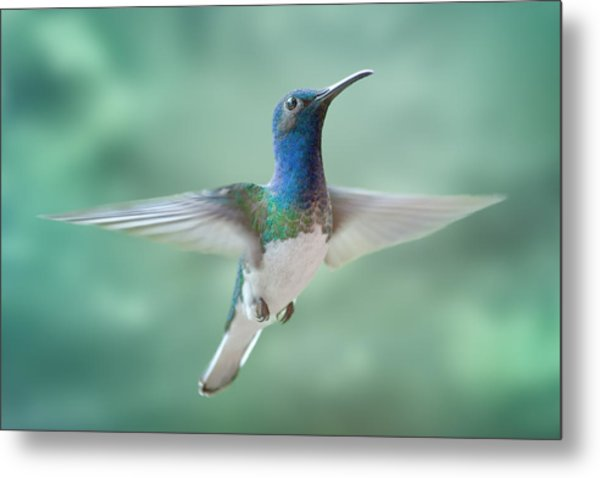 White-necked Jacobin Metal Print