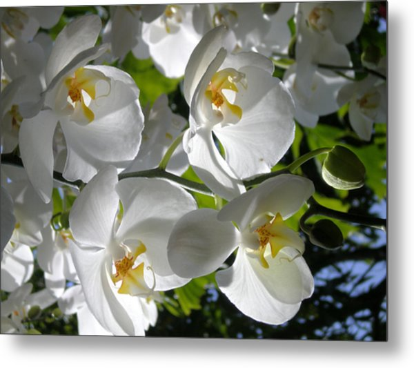 White Orchid In Light Metal Print