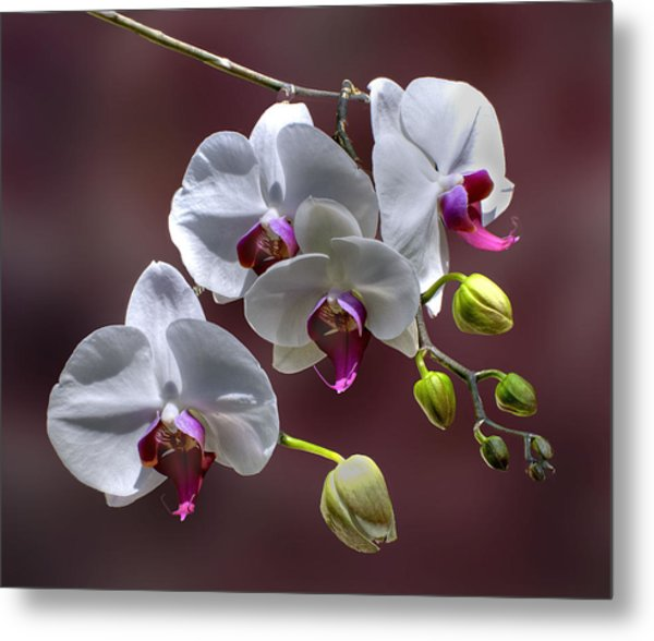 White Orchids Metal Print by Bob Mulligan