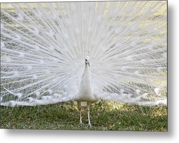 White Peacock - Fountain Of Youth Metal Print