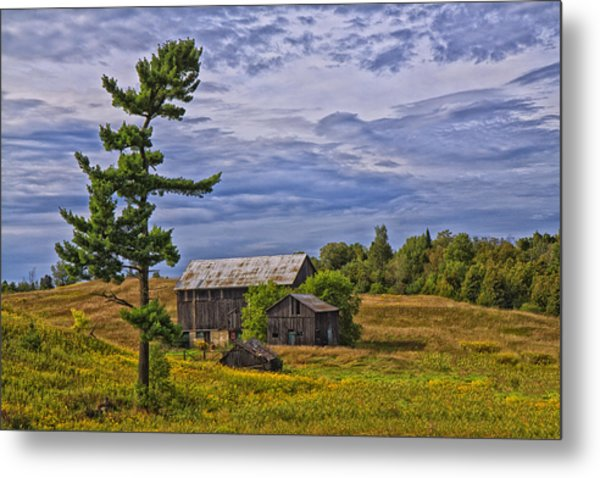 White Pine And Old Barn Metal Print