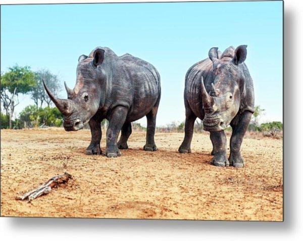 White Rhinoceros Bulls Metal Print