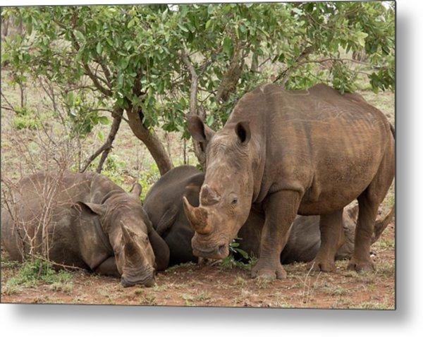 White Rhinos Resting Metal Print