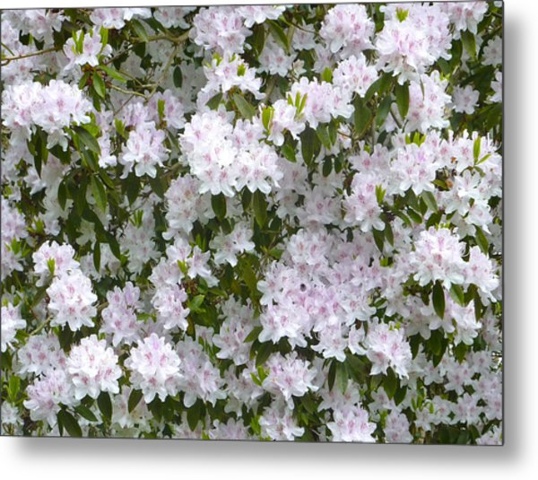 White Rhododendron Blossoms Metal Print by Rob Sherwood