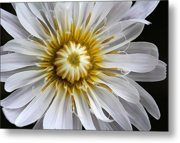 White Dandelion - White Rock Lettuce Metal Print
