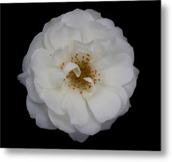 White Rose 2 Metal Print by Carol Welsh