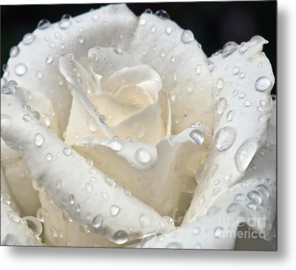White Rose After The Rain Metal Print