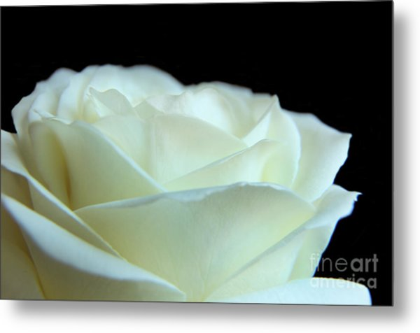White Avalanche Rose Metal Print