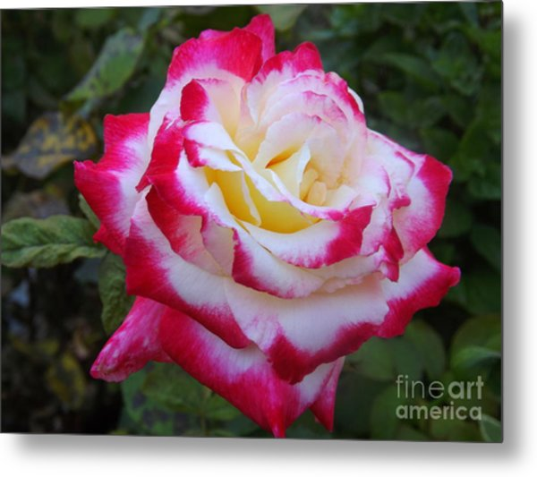 White Rose With Pink Texture Hybrid Metal Print