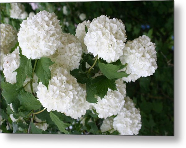 Snowball flower art page 2 of 5 fine art america white snowball bush metal print mightylinksfo