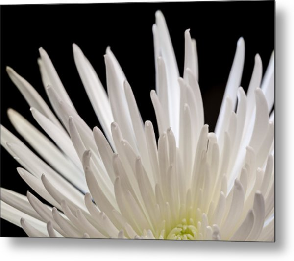 White Spider Mum On Black Metal Print