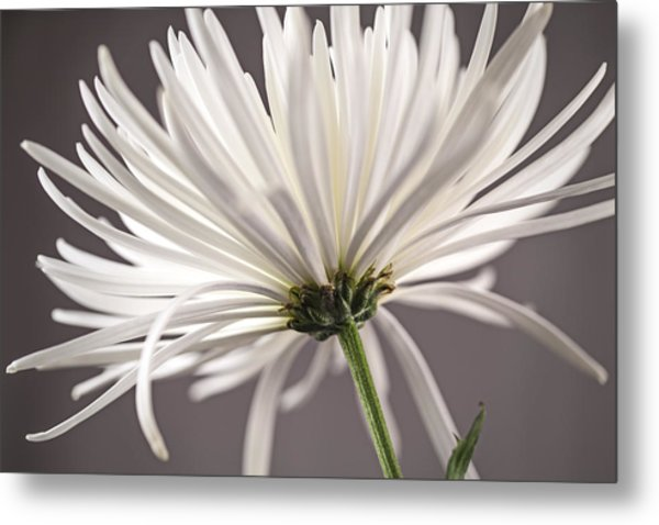 White Spider Mum On Gray Metal Print