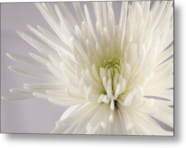 White Spider Mum On White Metal Print