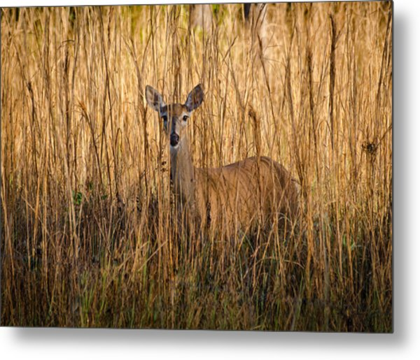 White Tailed Deer Metal Print