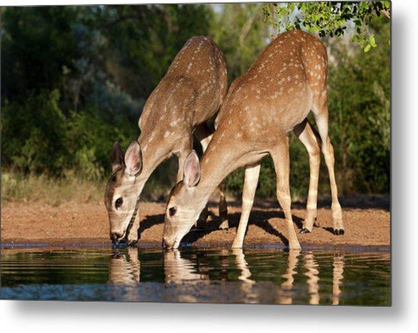White-tailed Deer (odocoileus Metal Print