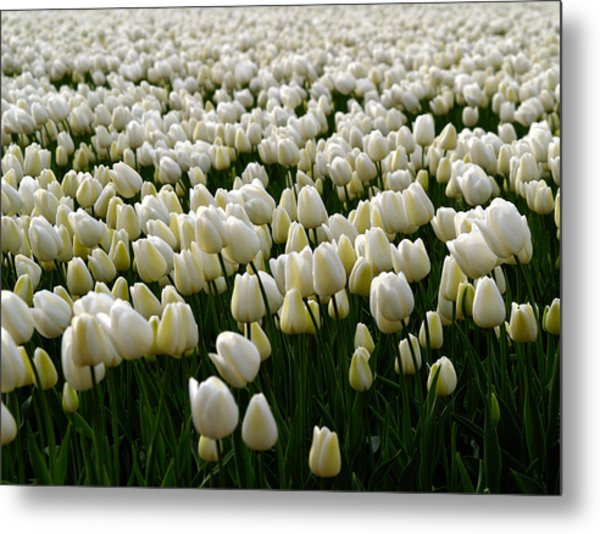 White Tulip Field  Metal Print
