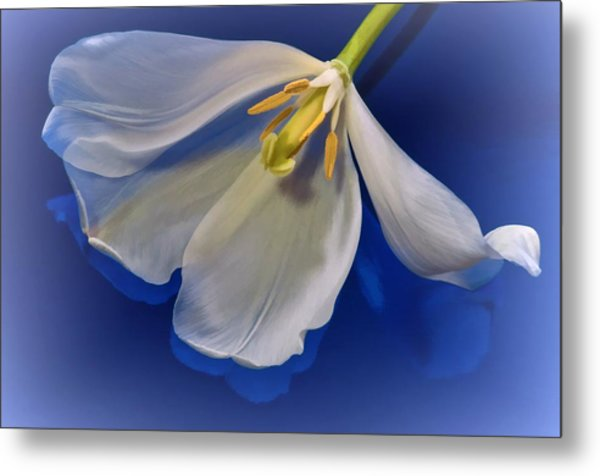 White Tulip On Blue Metal Print