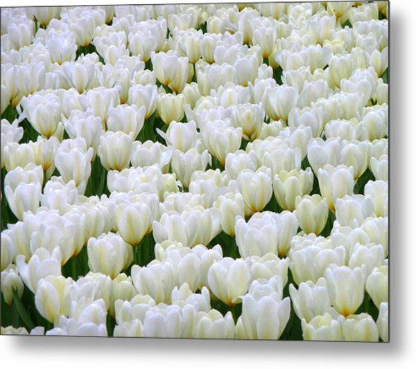White Tulips Metal Print by F Salem