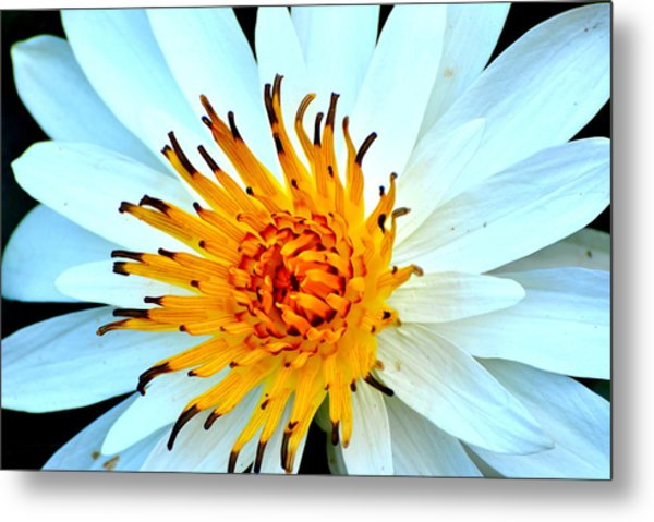 White Water Lilly II Metal Print
