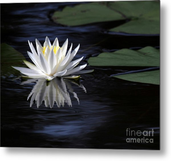 White Water Lily Left Metal Print