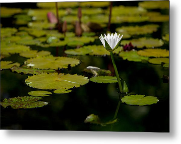 White Water Lily Uncropped Metal Print by Julio Solar