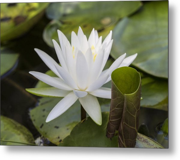 White Water Lily With Curiously Scrolled Leaf Metal Print
