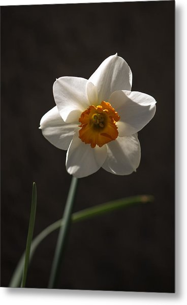 White Yellow Daffodil Metal Print