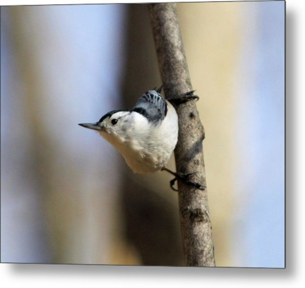Whitebreasted Nuthatch Metal Print