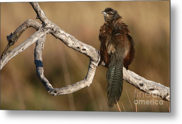 Whitebrowed Coucal Metal Print