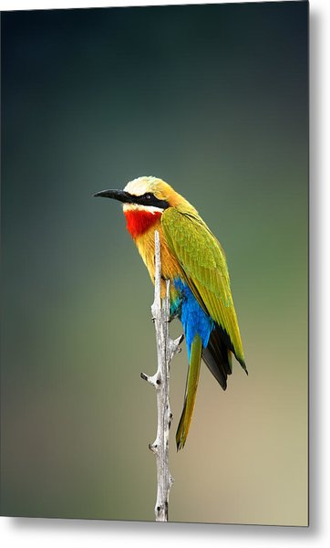 Whitefronted Bee-eater Metal Print