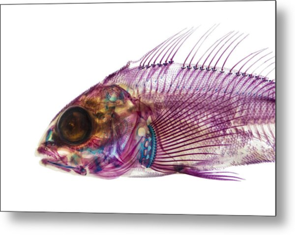 Whitespotted Greenling Metal Print by Adam Summers
