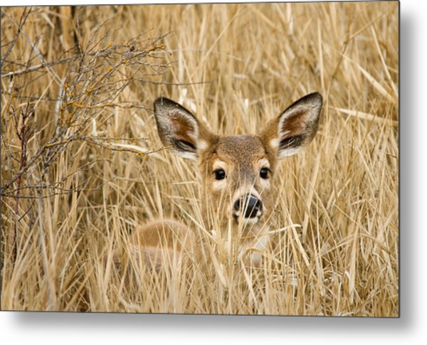 Whitetail In Weeds Metal Print