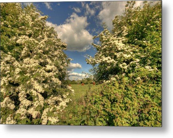 Whitethorn Hedge Metal Print by John Quinn