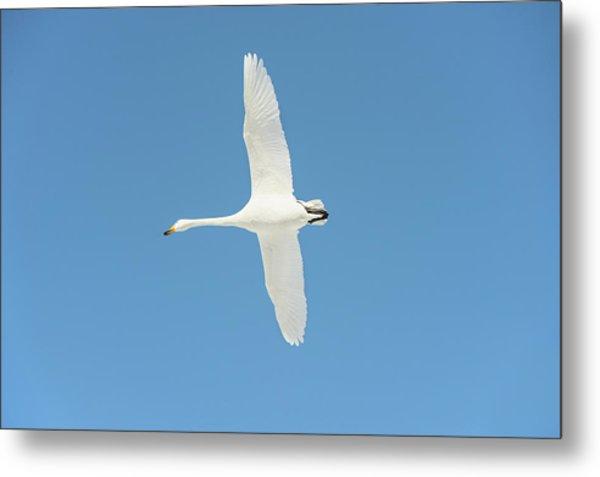 Whooper Swan In Flight Metal Print