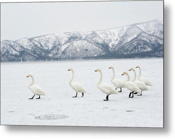 Whooper Swans Metal Print