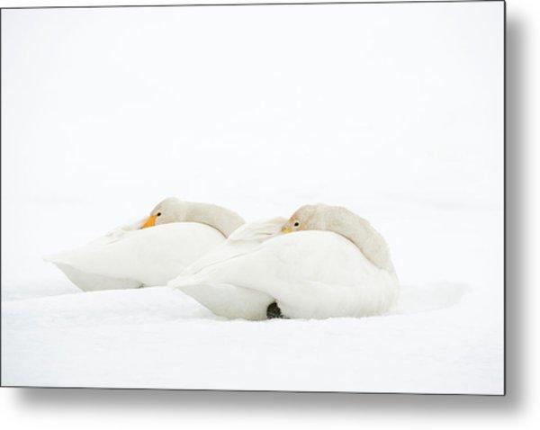 Whooper Swans Resting On Snow Metal Print