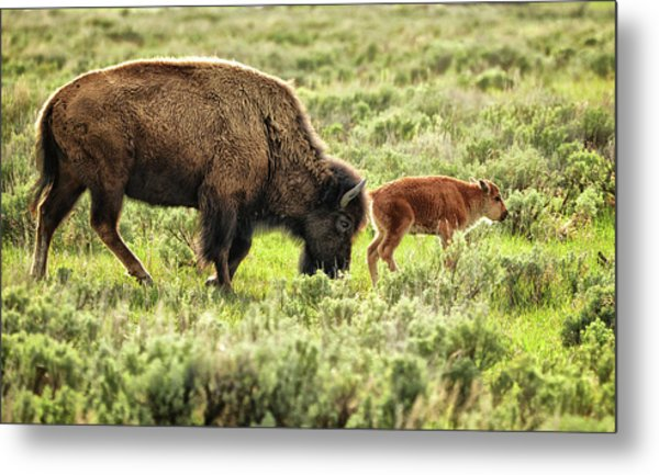Wild Bison Cow And Calf Metal Print by Jeff R Clow