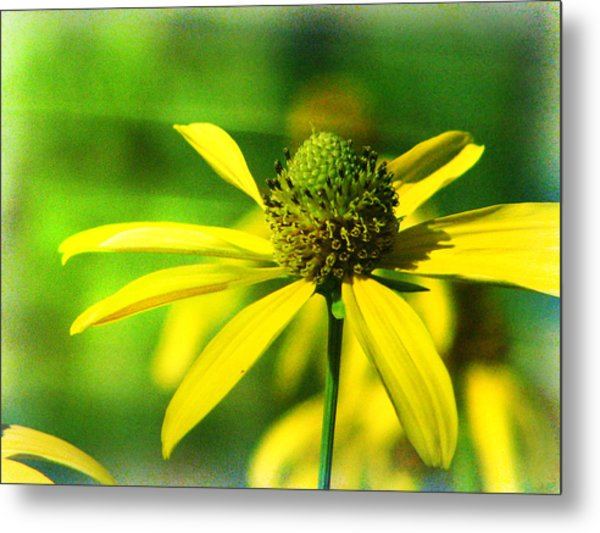 Wild Coneflower Secret Meadow Sandia Mountains Albuquerque New Mexico Metal Print