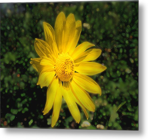 Metal Print featuring the photograph Wild Daisy by David Armstrong